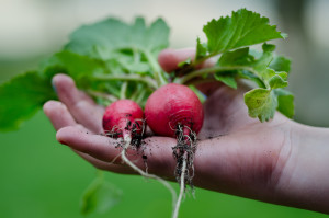 rental property in Berlin / Mietverwaltung: A gardener's hand holding some fresh radishes
